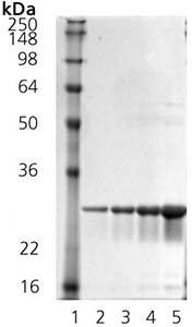 SDS-PAGE - Hsp27 protein (Mouse) (ab92457)