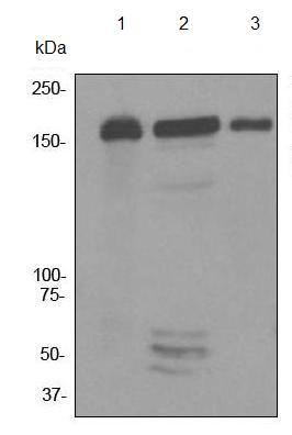 Western blot - MSH6 antibody [EPR3945] (ab92471)