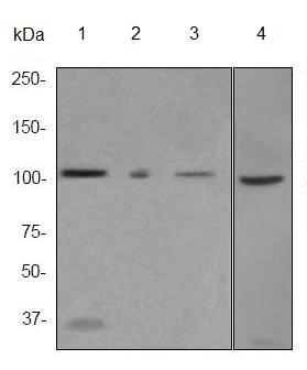 Western blot - MSH2 antibody [EPR3943] (ab92473)