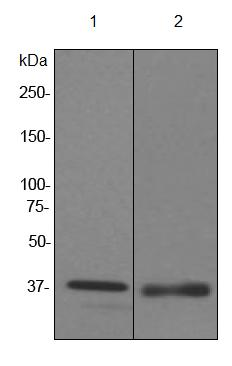 Western blot - FKBP6 antibody [EPR3674] (ab92475)