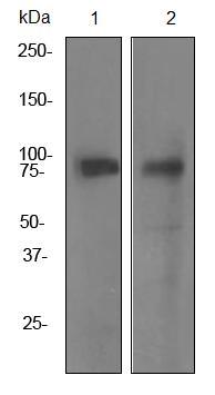 Western blot - MECT1 antibody [EPR3382] (ab92477)