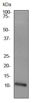 Western blot - Apolipoprotein A II antibody [EPR2913] (ab92478)