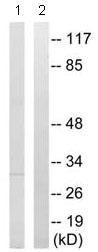Western blot - PGLS antibody (ab92485)