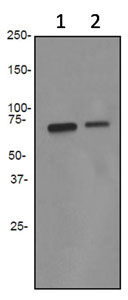 Western blot - PDZK1 antibody [EPR3751] (ab92491)
