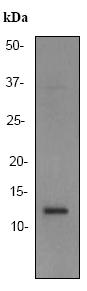Western blot - XTP4 antibody [EPR2678] (ab92499)