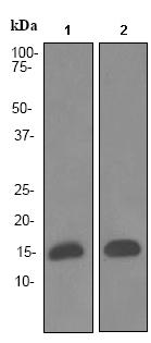 Western blot - FABP4 antibody [EPR3579] (ab92501)