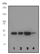 Western blot - P2Y6 antibody [EPR3816] (ab92504)
