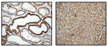 Immunohistochemistry (Formalin/PFA-fixed paraffin-embedded sections) - P2Y6 antibody [EPR3816] (ab92504)