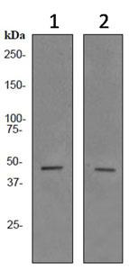 Western blot - PAX5 antibody [EPR3729] (ab92512)