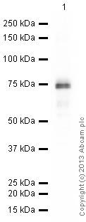 Western blot - Anti-Otx1 + Otx2 antibody [EPR3347] (ab92515)