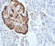 Immunohistochemistry (Formalin/PFA-fixed paraffin-embedded sections) - Glucagon antibody [EP3070] (ab92517)
