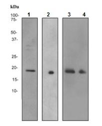 Western blot - Anti-Glucagon antibody [EP3070] (ab92517)