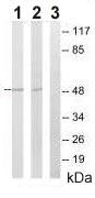 Western blot - CEP57 antibody (ab92529)