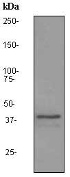 Western blot - ADH6 antibody [EPR3683] (ab92541)