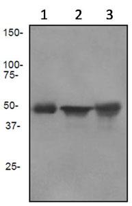 Western blot - Cytokeratin 13 antibody [EPR3671] (ab92551)