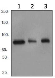 Western blot - Cullin 4a antibody [EPR3198] (ab92554)