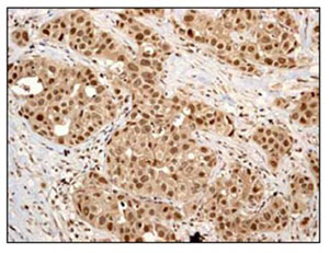 Immunohistochemistry (Formalin/PFA-fixed paraffin-embedded sections) - Cullin 4a antibody [EPR3198] (ab92554)