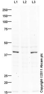 Western blot - GATA4 (phospho S105) antibody (ab92585)