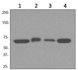 Western blot - TCP1 alpha antibody [EPR4081] (ab92587)