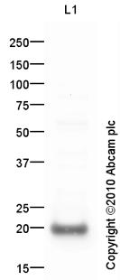 Western blot - HB EGF antibody (ab92620)