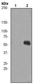 Western blot - Chk1 (phospho S280) antibody [EPR765] (ab92630)