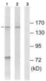 Western blot - NEDL2 antibody (ab92711)