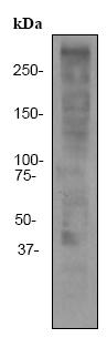 Western blot - Anti-Ki67 antibody [EPR3610] (ab92742)