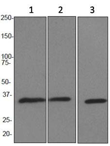 Western blot - APE1 antibody [EPR4022] (ab92744)