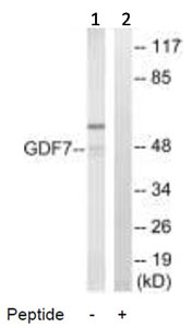Western blot - GDF7 antibody (ab92756)