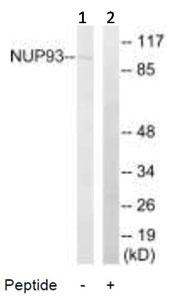 Western blot - NUP93 antibody (ab92776)