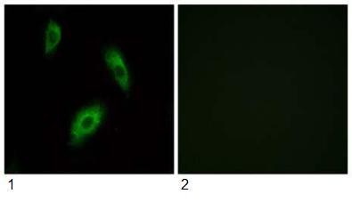 Immunocytochemistry/ Immunofluorescence - GPR 174 antibody (ab92796)