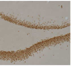 Immunohistochemistry (PFA perfusion fixed frozen sections) - PROX1 antibody [5G10] (ab92825)