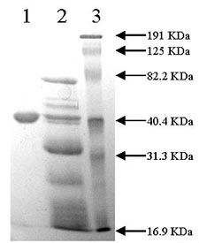 SDS-PAGE - PAI1 protein (Mutated S) (Active) (ab92830)