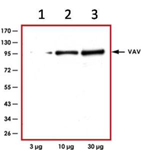Western blot - Vav proteins antibody (ab92890)
