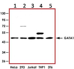 Western blot - GATA1 antibody (ab92891)