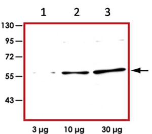 Western blot - FOXO4 antibody (ab92893)