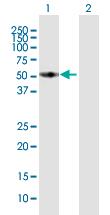 Western blot - FMO3 antibody (ab92902)