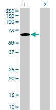 Western blot - UTP18 antibody (ab92910)
