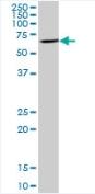Western blot - ENTPD8 antibody (ab92918)