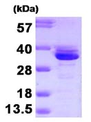 SDS-PAGE - Annexin A3 protein (Human) (ab92929)