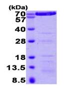 SDS-PAGE - Annexin VI protein (His tag) (ab92934)