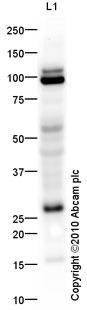 Western blot - EGFL7 antibody (ab92939)