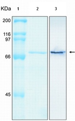SDS-PAGE - Annexin VI protein (Tagged-His Tag) (ab92968)