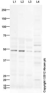 Western blot - Anti-EDG6 antibody (ab92993)
