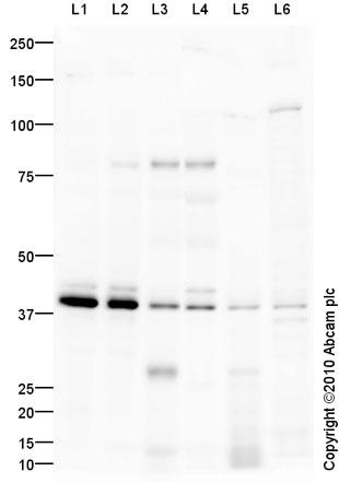 Western blot - EDG8 antibody (ab92994)