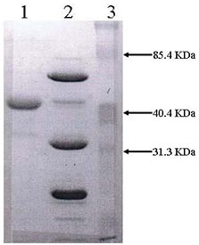 SDS-PAGE - PAI1 protein (Active) (ab93012)