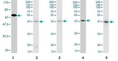 Western blot - beta Actin antibody [1E7] (ab93027)