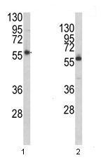 Western blot - PRODH antibody (ab93210)