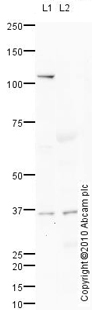 Western blot - Nanog antibody (ab93240)