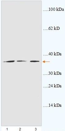 Western blot - GAPDH antibody - C-terminal (ab93378)